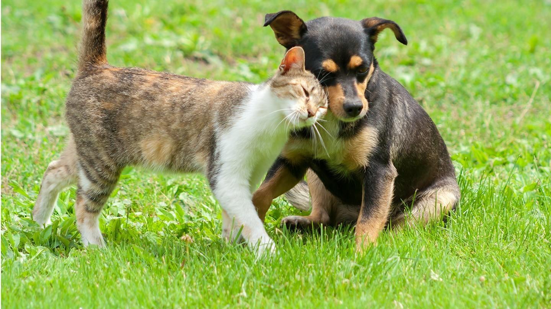 Wenn Hund und Katze draußen unterwegs sind, ist das Floh-Risiko groß. Da das Insekt Krankheiten übertragen kann, sollte schnell gehandelt werden.